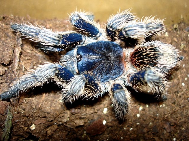 Thrixopelma cyaneum, Photo (c) Barry Wiles
