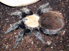 Brachypelma albiceps formerly known as Brachypelma ruhnaui