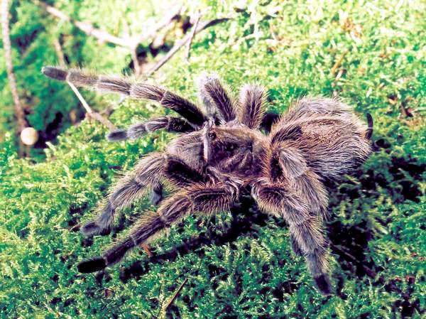 Grammostola rosea - world record holder on starvation amongst tarantulas (Foto (c) Emil Morozov)