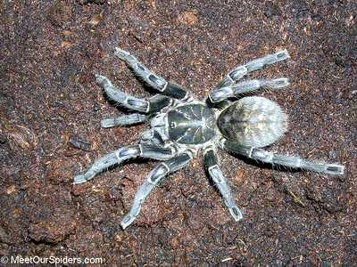 природная самка Haplopelma vonwirthi, Photo (c) MeetOurSpiders.com
