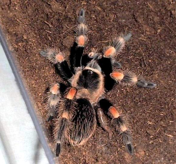 Regenerated after the molt right posterior leg of Brachypelma smithi (Photo (C) Craig Show)