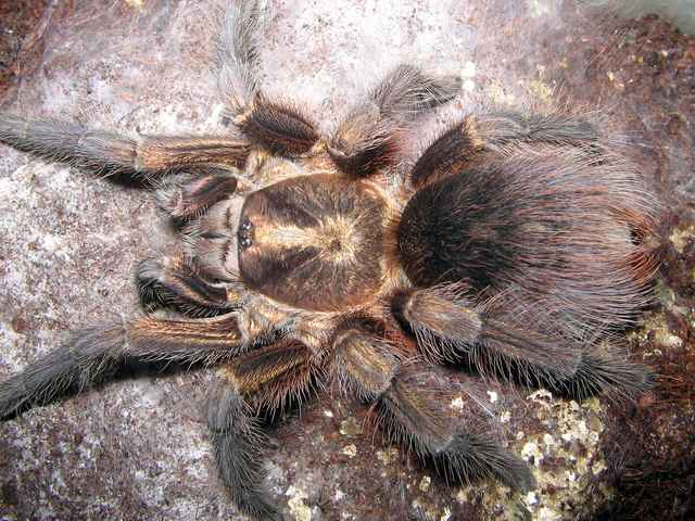 sub-adult female of the tarantula Phormictopus auratus, Photo (c) Mikhail F. Bagaturov