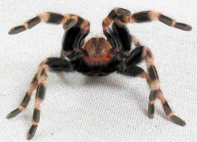 Lasiodora cristata in defence pose