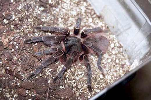 Acanthoscurria atrox
