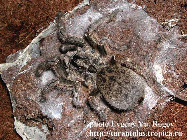 Ceratogyrus bechuanicus