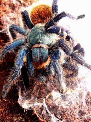 The female of Chromatopelma cyaneopubescens munching on the male -   the rezult of 99% of all matings of this species in captivity. Foto (c) Mikhail F. Bagaturov