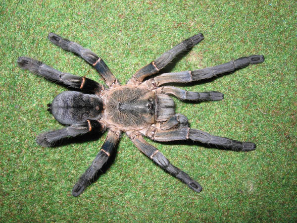 female of tarantula Haplopelma longipes, Photo (c) Leon Lane