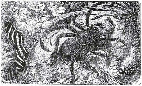 One of the the old-time engravings, to which name of tarantulas are arising
