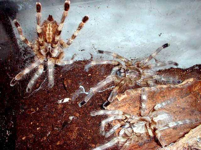 Communal setup of Poecilotheria formosa. Photo (c) Ray Gabriel