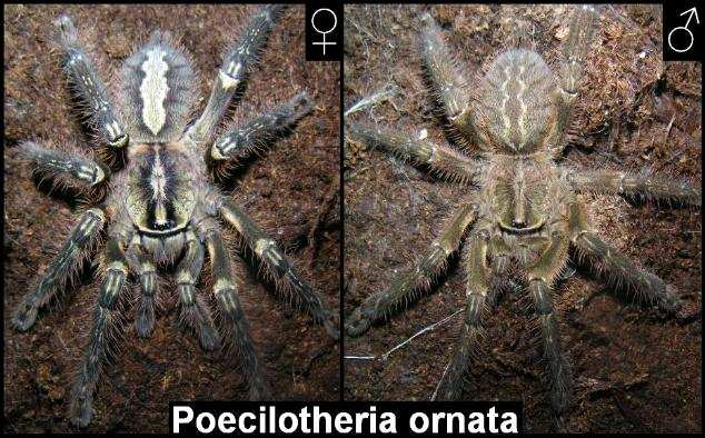 Sexual dimorphism of juvenil Poecilotheria ornata from ventral site