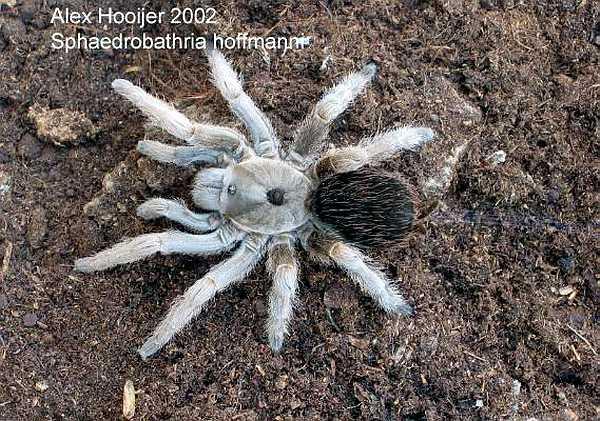 Sphaerobthria hoffmanni