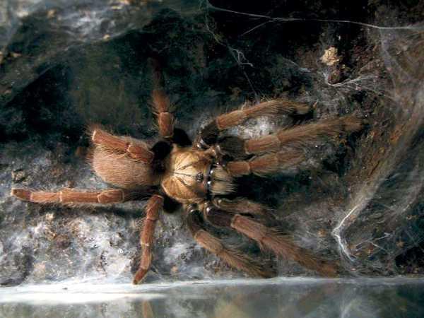 Thrigmopoeus truculentus